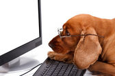 English Cocker Spaniel Dog Using Keyboard and Looking Monitor — Stock Photo