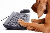 Perro cocker spaniel inglés usando el ratón y el teclado — Foto de Stock