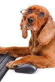 Anglický kokršpaněl pes pomocí myši a klávesnice — Stock fotografie