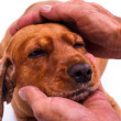 Hand Caressing Dog Head — Stock Photo