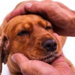 Hand Caressing Dog Head — Stock Photo