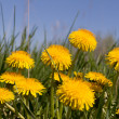 Yellow dandelions against the sky — Stock Photo