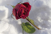 Dried rose frosted on snow cover — Stock Photo