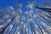 High trees — Stock Photo