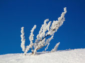 Winter, snow drifts, plant in the snow background — Stock Photo