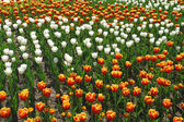 Tulips in a field — Stock fotografie