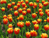 Tulips in a field — Stock Photo