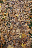 Yellow autumn leaves on the ground, oak, — Stock fotografie