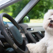 Dog in car — Foto de Stock