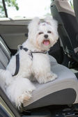 Dog safe in the car — Stock Photo
