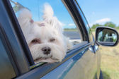 Dog sitting in a car — Stock Photo