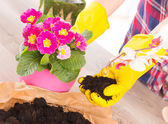 Planting colorfull flower in a flowerpot — Photo