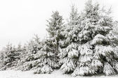 Evergreen pine trees — Stock Photo