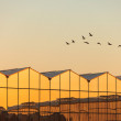 Greenhouse with geese — Stock Photo
