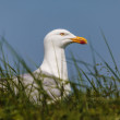 Stock Photo: Breeding Dutch seagull on grass