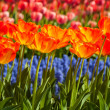 Tulips and muscari — Stock fotografie