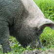 Stock Photo: Muddy pig