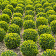 Growth of box-trees — Stock Photo #41225519