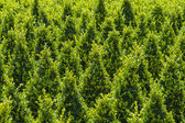 Growth of sculpted buxus — Stock Photo