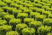 Sculpted green buxus — Stock Photo