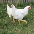 Stock Photo: Two chicken