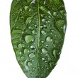 Stock Photo: Green leaf with drops