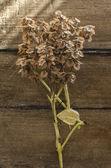 Dried basil — Stock Photo