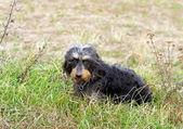 Coarse haired dachshund — Stock Photo