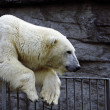 Polar bear — Stock Photo #14155731
