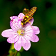 Stock Photo: Flower fly