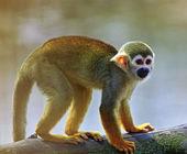 Common squirrel monkey (Saimiri sciureus) — Stock Photo