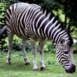 Chapmans Zebra — Stock Photo #17440851