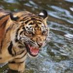 Sumatran tiger cub — Stock Photo #17443471