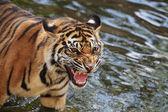 Sumatran tiger cub — Stock Photo