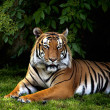 Sumatran tiger — Stock Photo #17851517