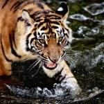 Sumatran tiger cub — Stock Photo #18063031
