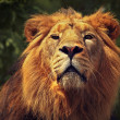 Portrait of the lion - Stock Photo