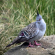 Crested pigeon — Stock Photo #18221209