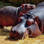 Hippos — Stock Photo #18229861