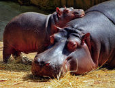 Hippos — Stock Photo