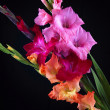 Gladiolas closeup - Stock Photo