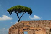 Roman pine — Stock Photo