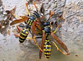 Wasps — Stock Photo