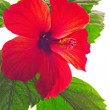 Rose mallow closeup — Stock Photo #24337225