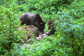 Brown bears — Stock Photo