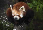 The Red Panda, Firefox — Stock Photo