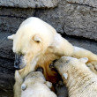 Polar bear cubs feeding — Stock Photo