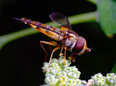 Flower fly — Stock Photo