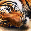 Recumbent tiger — Stock Photo #30140377