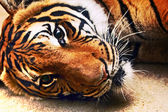 Recumbent tiger — Stock Photo